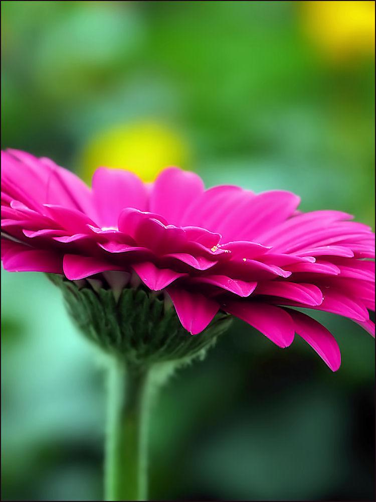 Petals of gerbera