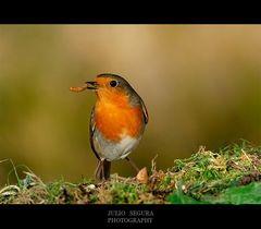 Petirrojo (Robin)