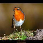 Petirrojo X, (Robin)