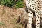 Petit guépard (Cheetah cub) - Masai Mara / Kenya