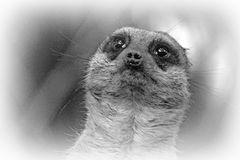petit mais expressif..., un suricate!