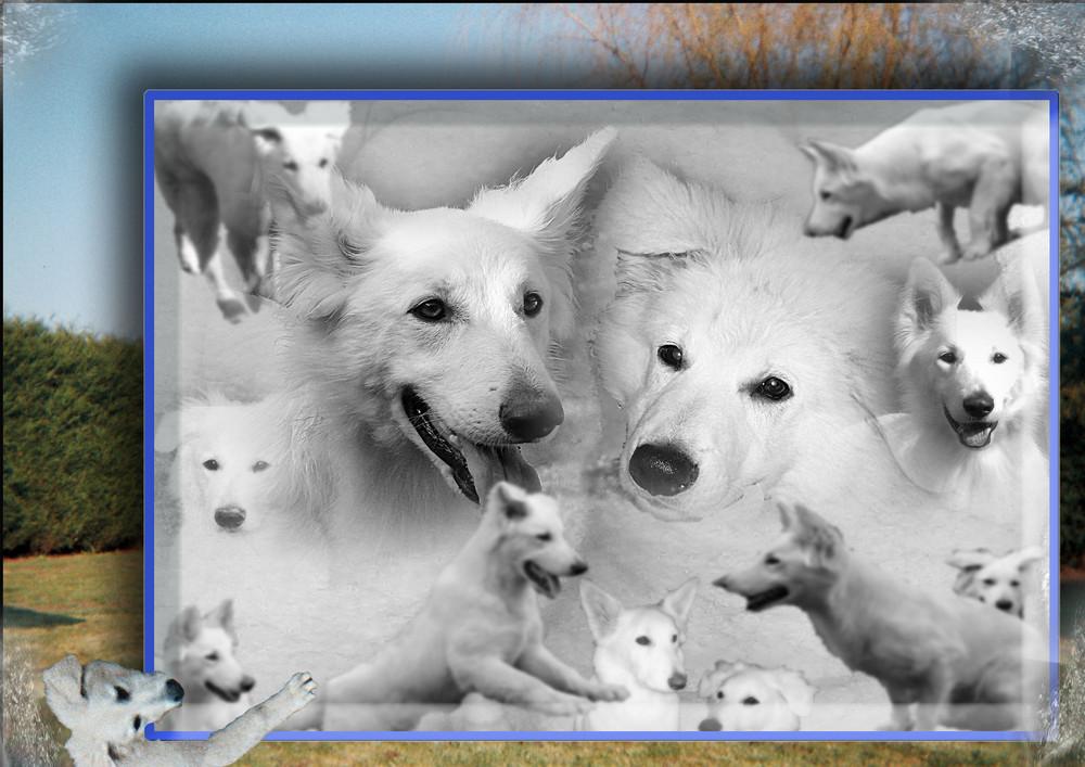 petit montage de ces trés beaux chiens