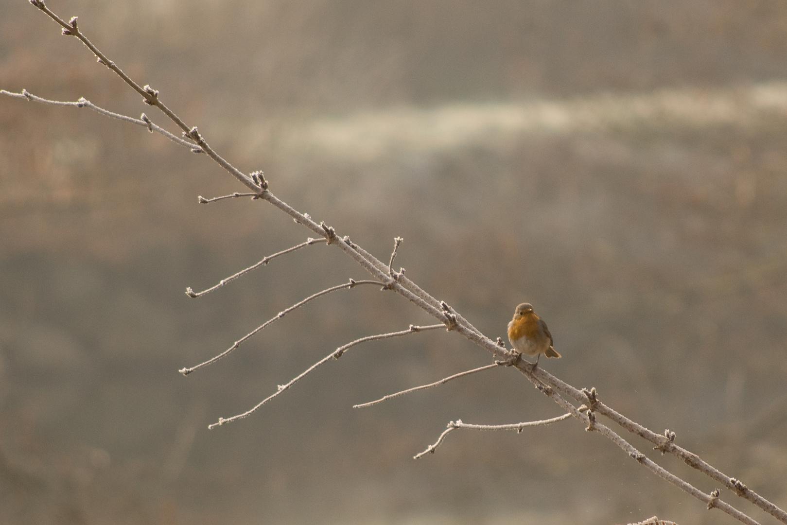 petit Rouge-gorge en hiver