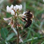 Petite abeille où es-tu ?