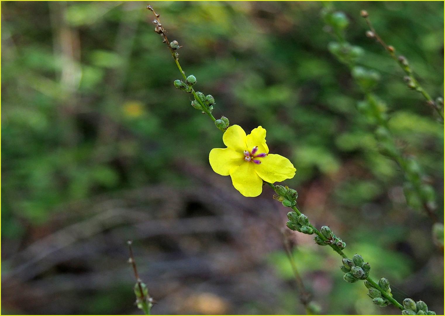 Petite fleur jaune sauvage