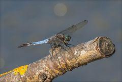 Petite libellule du jour