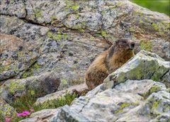 Petite marmotte du Mercantour