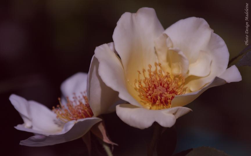 Petite rose églantine, en juin