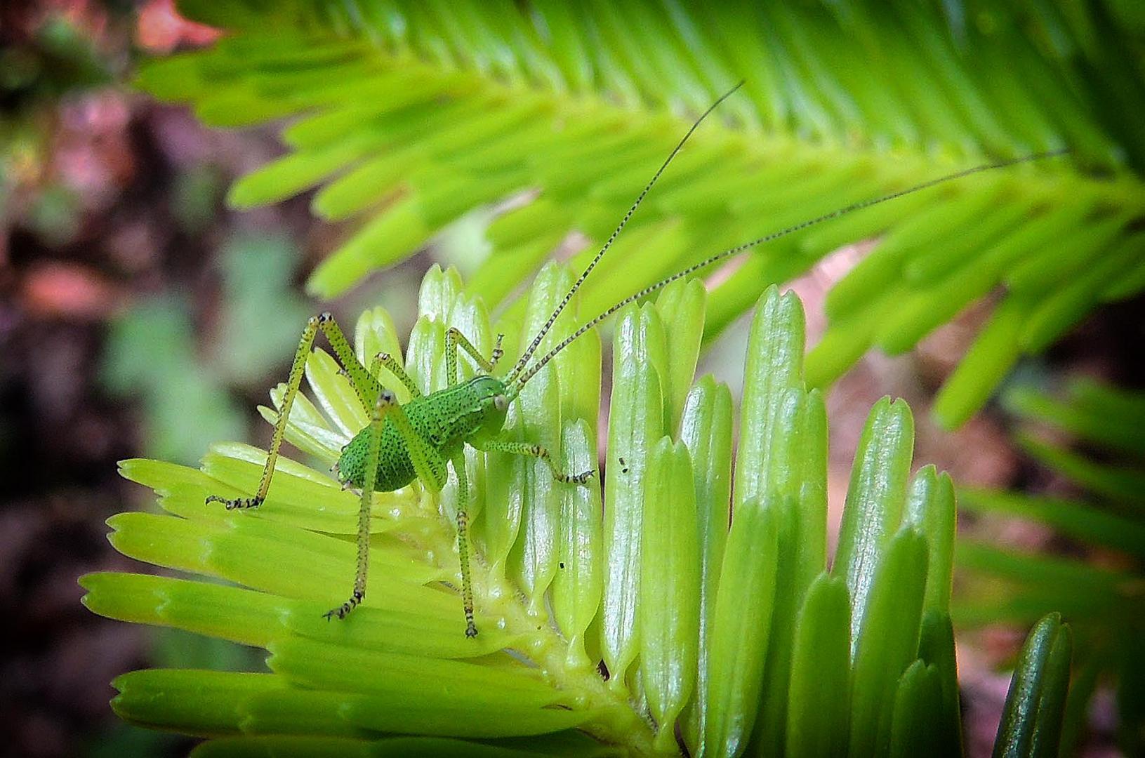 Petite sauterelle sur un pin