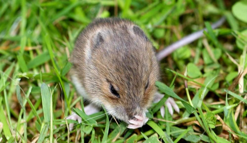 Petite souris ou l'innocence