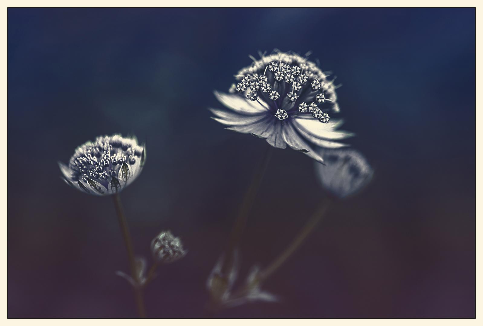 Petites étoiles blanches