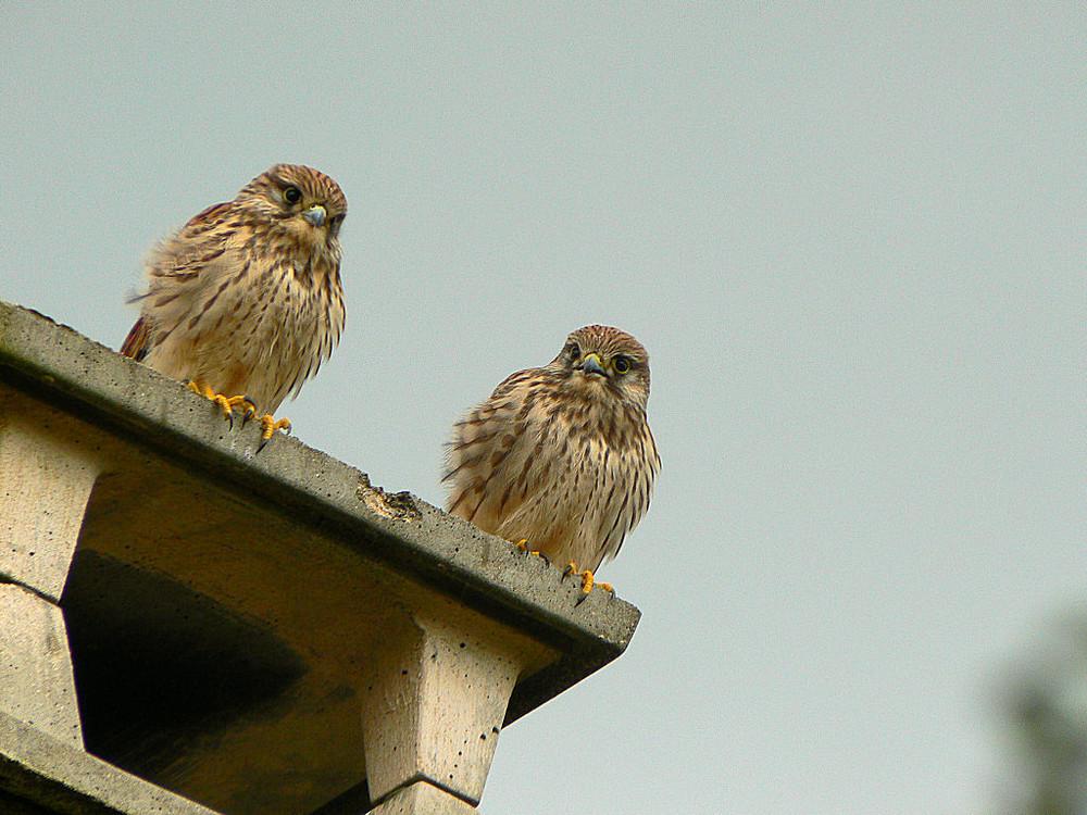 Petits Faucons attendant de la nourriture