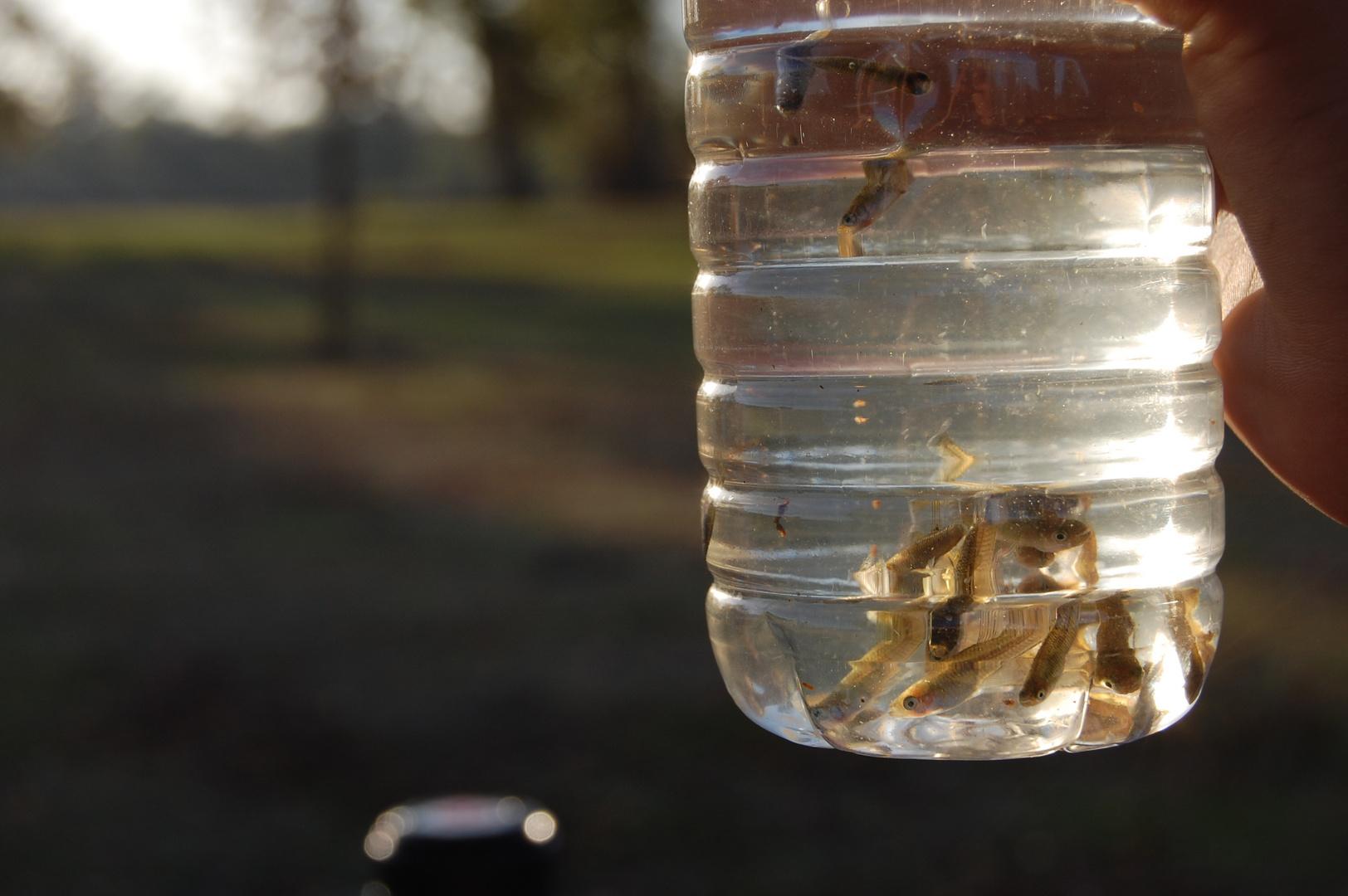 Petits poissons en bouteille.