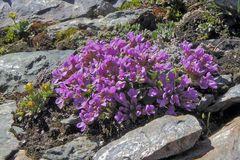 Petrocallis pyrenaica - Steinschmückerl eine besondere Rarität von ganz weit oben...