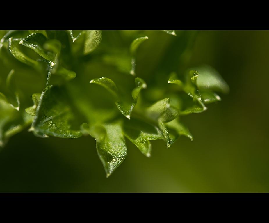 Petroselinum Crispum ...
