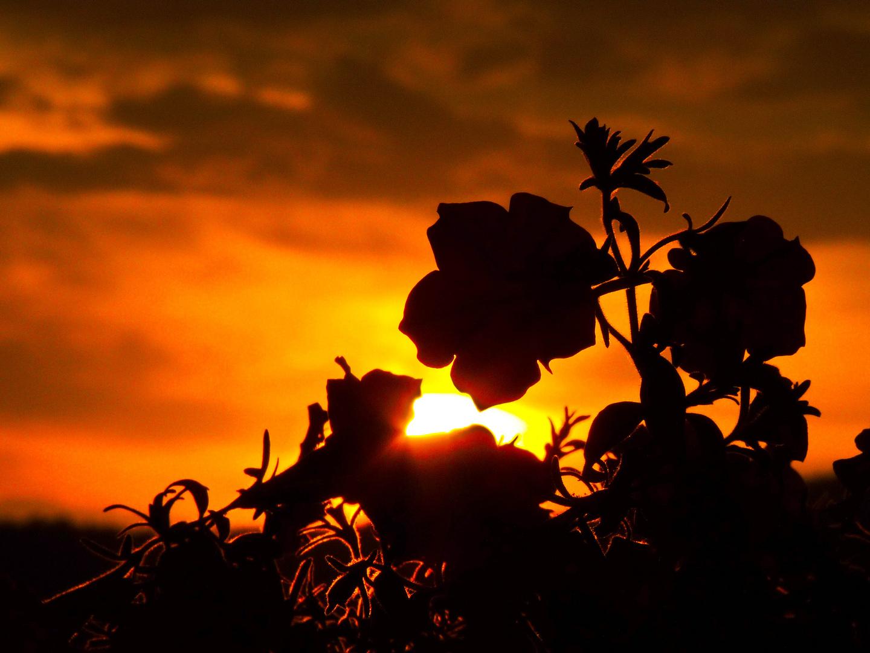 petunia di sera