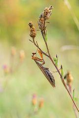 Pfälzer Mantis