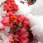 Pfaffenhütchen im Schnee