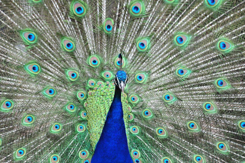 Pfau! So ein schöner Vogel