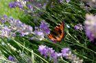 Pfauenauge im Lavendel
