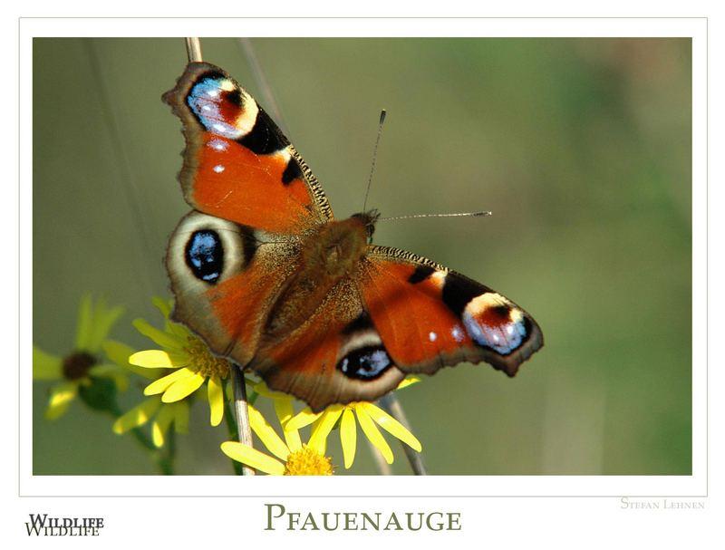 Pfauenauge_104135_1