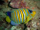 Pfauenkaiserfisch