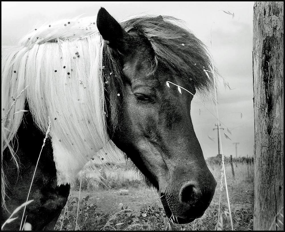 pfeadinand der schwarz wei e foto bild tiere haustiere pferde esel maultiere bilder auf. Black Bedroom Furniture Sets. Home Design Ideas