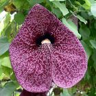 Pfeifenblume