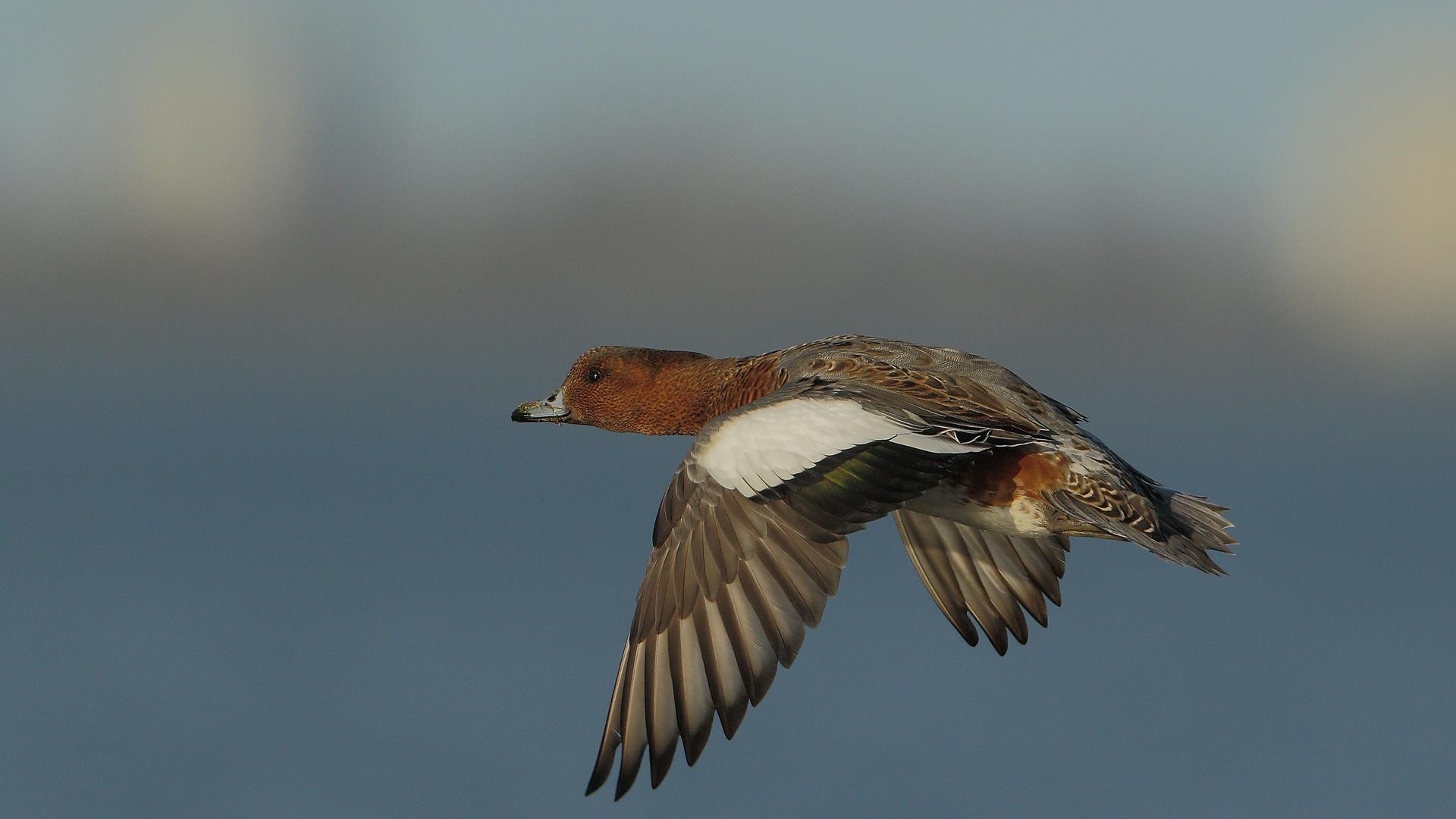 pfeifente im flug foto  bild  tiere wildlife wild