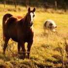 Pferd auf der Hochheide