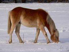 Pferd bei der Futtersuche im Schnee