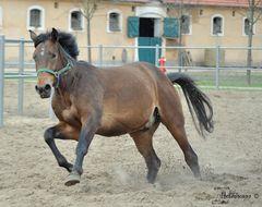 Pferd im Galopp