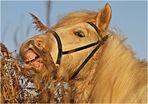Pferd im Schilf