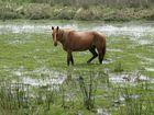 Pferd im Sumpf