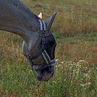 Pferd mit Fliegenmaske und Ohrenschutz