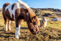 Pferd mit Schaf...