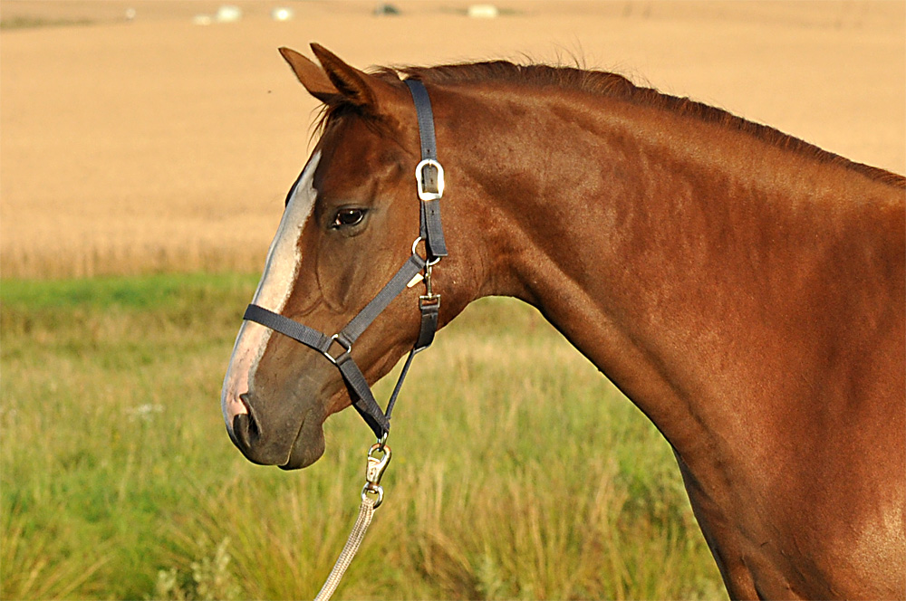 Pferd-Porträt