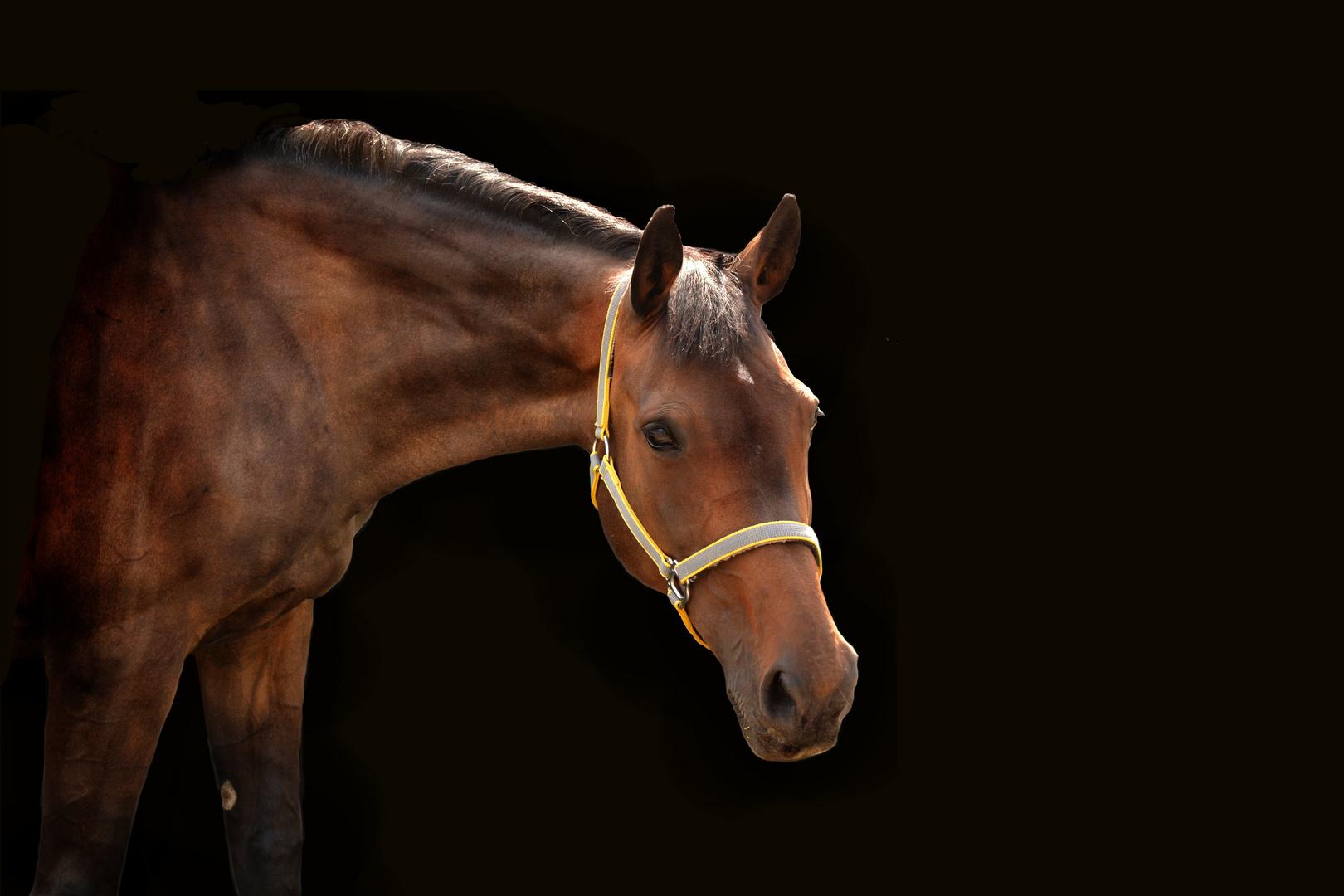 Berühmt Pferd vor schwarzem Hintergrund Foto & Bild | tiere, haustiere @PS_93
