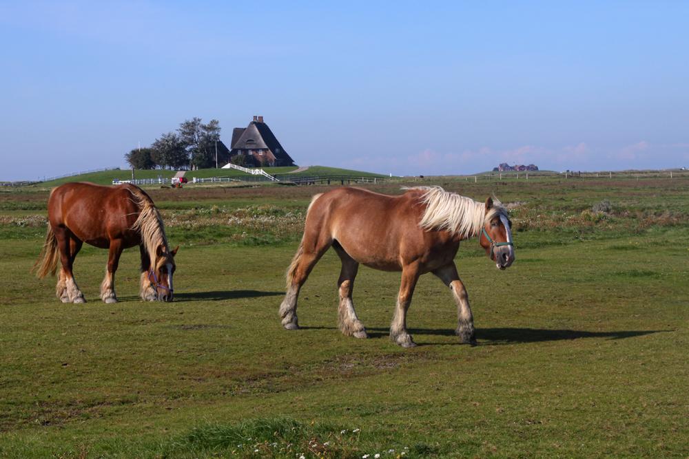 Pferde auf der Hallig