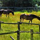 Pferde auf der Sommerweide