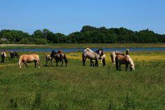 Pferde auf Hiddensee
