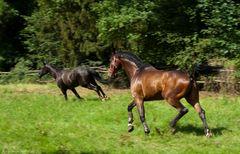 Pferde beim Freilauf