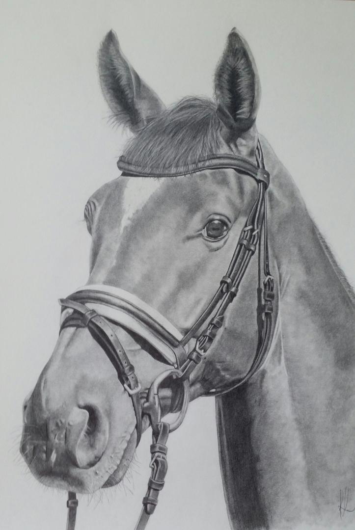 Pferde Bleistift Portrait Foto Bild Tiere Haustiere Pferde