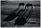 Pferde im Gegenlicht
