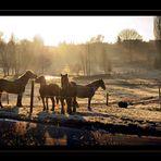 Pferde im Morgengrauen