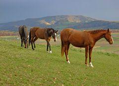 Pferde im Rafzerfeld (Schürlibuck)