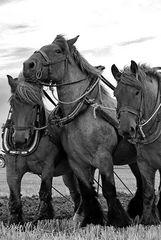 Pferde in Schwarzweiß
