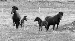 Pferde - Pfamilie