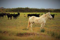 Pferde und Stiere