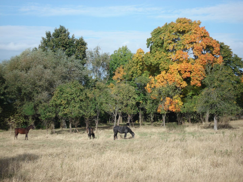 Pferde vor herbstlichen Bäumen auf der Weide [Elberadweg]